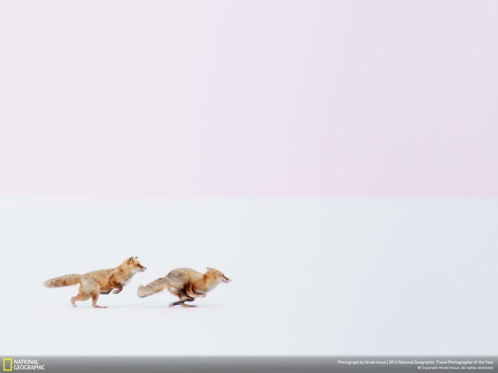 攝於日本北海道的美瑛町,兩隻赤狐在白雪覆蓋的山丘上奔馳。赤狐是非常機靈的動物,分布範圍遍及全球,棲地類型多樣,牠們通常在冬天繁殖。Photograph by Hiroke Inoue