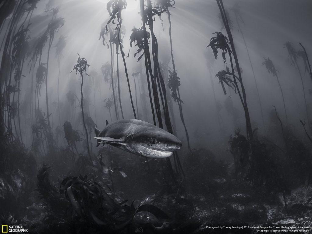 於開普敦西蒙鎮沿岸的海帶林,拍攝到這隻尖吻七鰓鯊。Photo and caption by Tracey Jennings