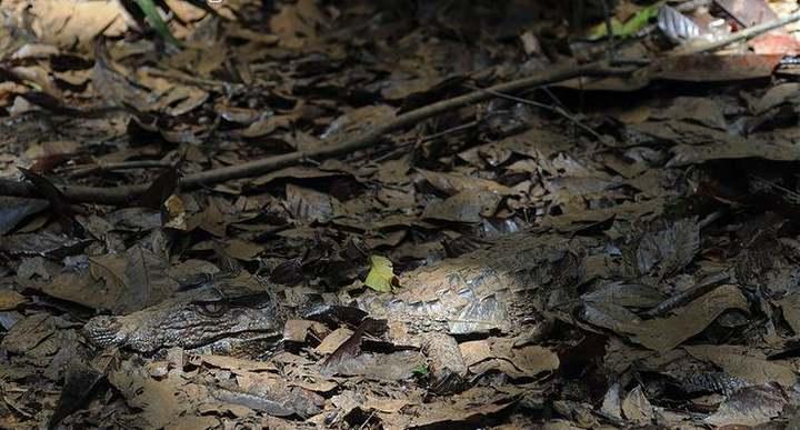 乾季候躲在叢林底層的庫氏侏儒鱷,可離水好一段距離。Source: ARKive photo by Daniel Heuclin