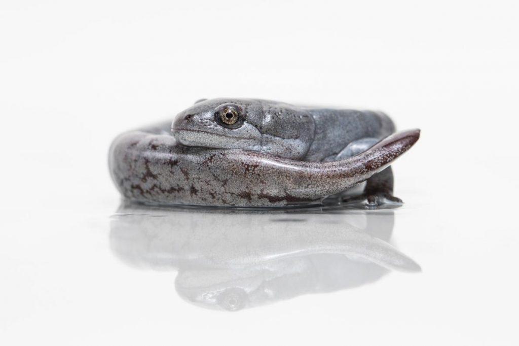 母鈍口螈會從他種公蠑螈身上竊取DNA。PHOTOGRAPH BY ZAC HERR