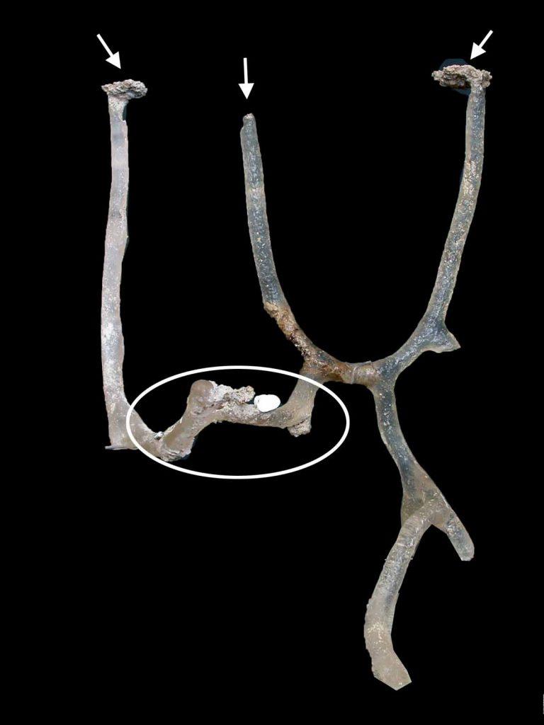 在夏天是螻蛄蝦的交配期,公蝦及母蝦之洞穴有一條橫向隧道連接(圖中圈示),以利公蝦及母蝦相遇與交配。箭頭顯示洞穴之出入口。