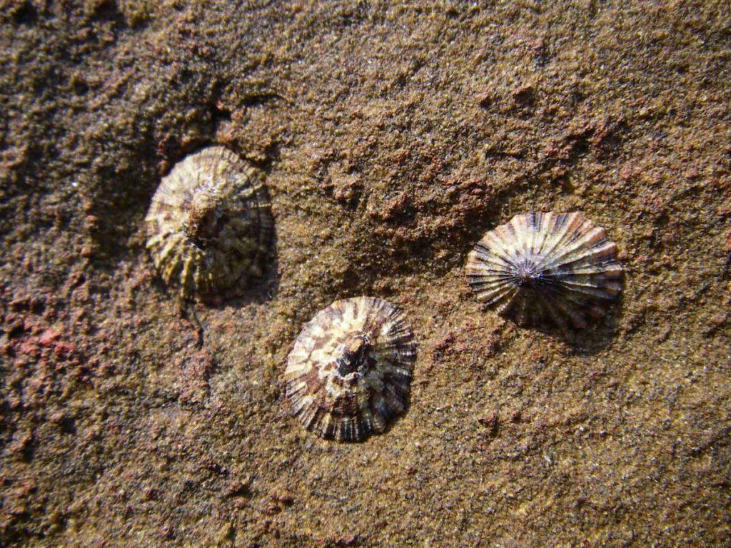 笠貝是中潮區常見的生物。