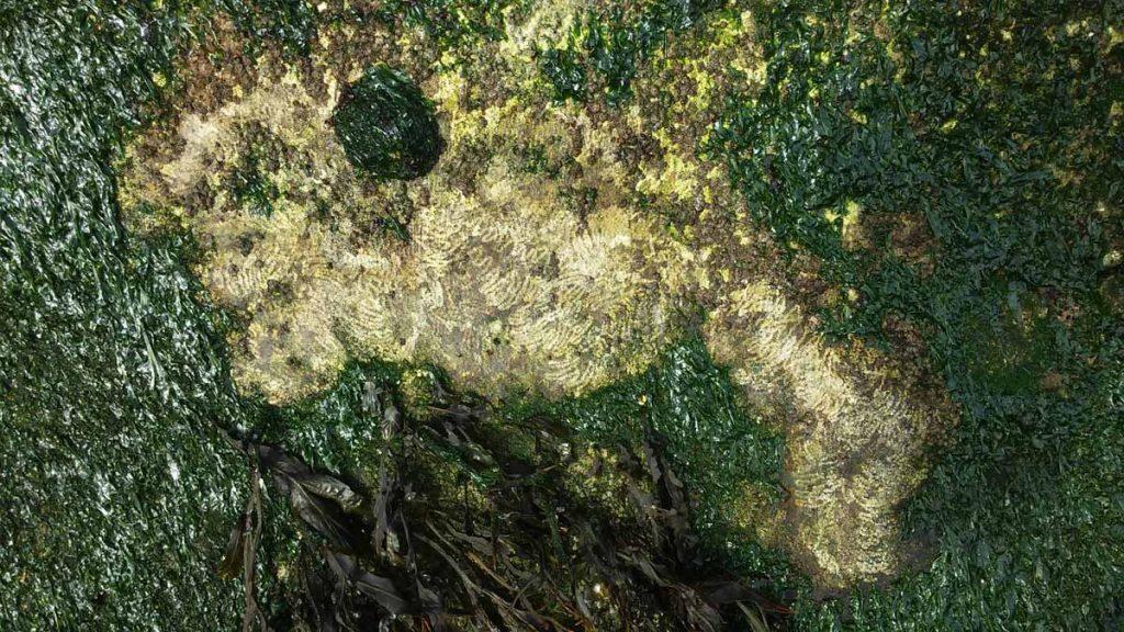 笠貝及石鼈為刮食生物,他們有一條長長的齒舌,用以刮食岩石上的藻類。圖中可見笠貝刮食藻類後,出現Z狀的刮痕 (Clarissa Fraser 攝) 。
