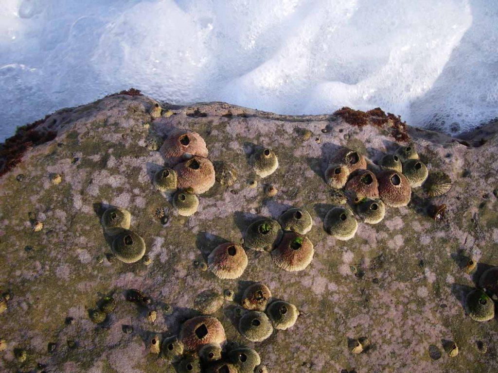 藤壺為甲殼類生物,成體是永久性黏在岩石上,不能移動圖中顯示東北角常見之笠藤壺,殼粉紅色為美麗笠藤壺,殼綠色為黑潮笠藤壺。
