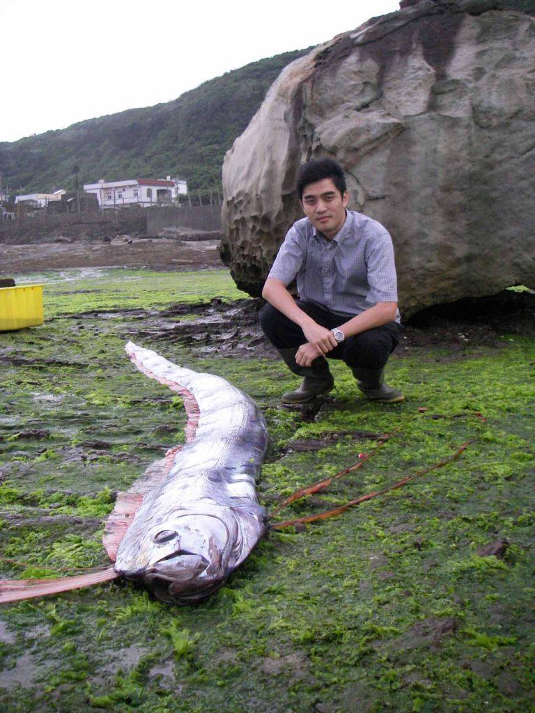 圖中顯示擱淺之皇帶魚,筆者作為比例尺。