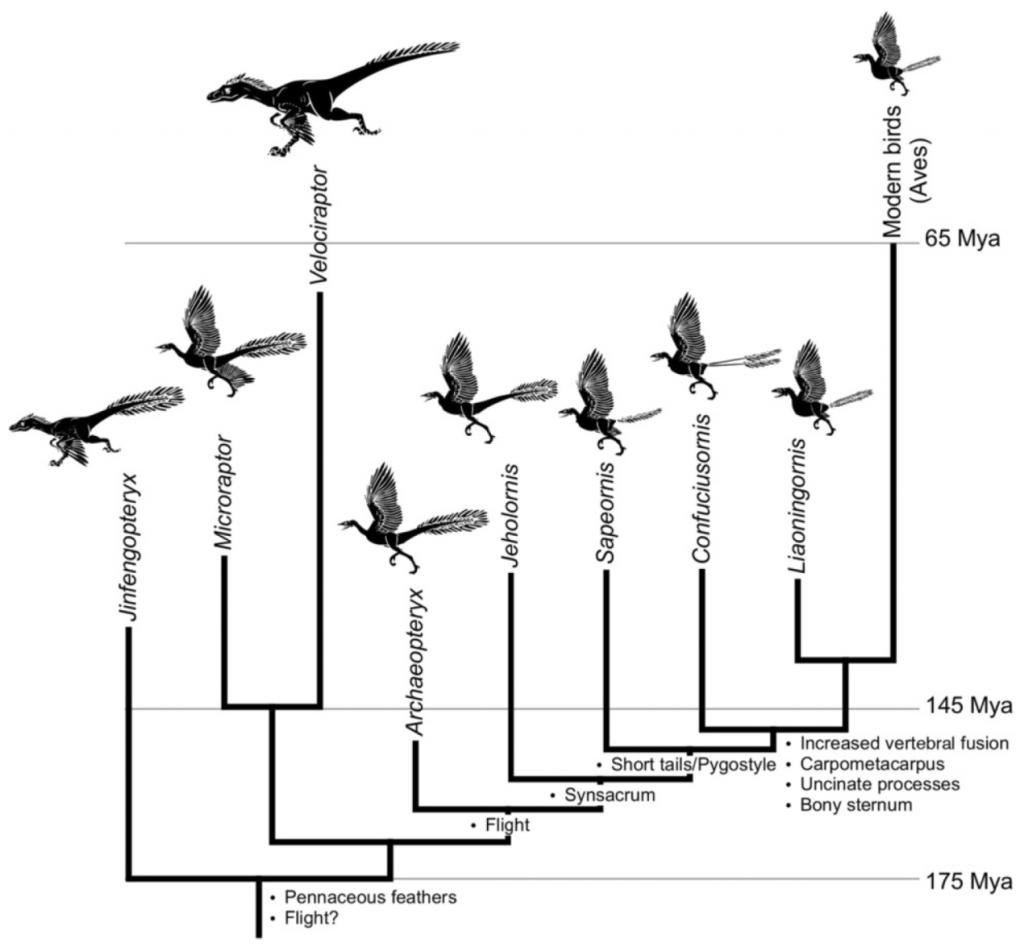 真手盜龍類(副鳥類)的演化樹圖,真正的鳥翼類(右四起)可能起源自侏儸紀中期,但仍保有許多爬行類和鳥類之間的過渡特徵。左起金鳳鳥龍、小盜龍、迅猛龍、始祖鳥、熱河鳥、會鳥、孔子鳥、遼寧鳥、現代鳥。(Source: Rashid et al. EvoDevo 2014, 5:25)