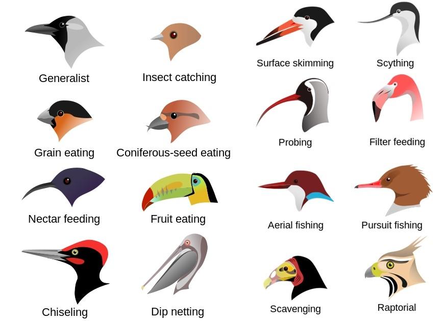 現今超過萬種的所有鳥類,追本溯源都是恐龍的其中一隻演化支。(Source: Wikipedia)