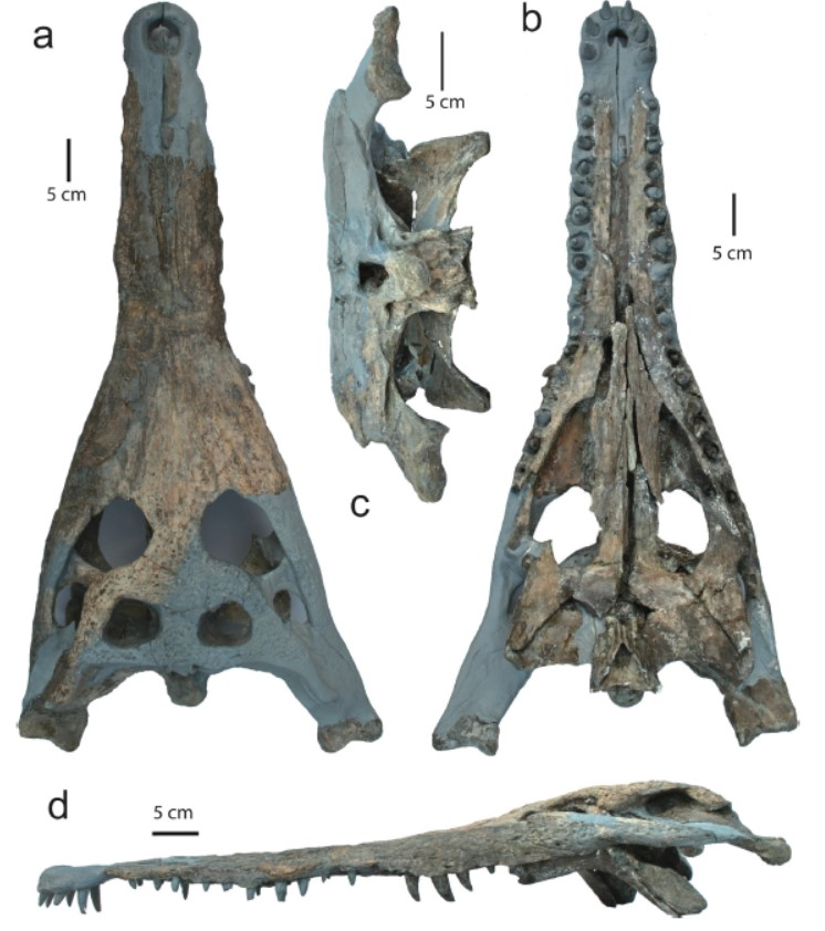 潘氏澎湖鱷的頭骨標本,外觀構造保持相當完整。(Source: Shan et al. Can. J. Earth Sci. 2009. 46: 529-555.)