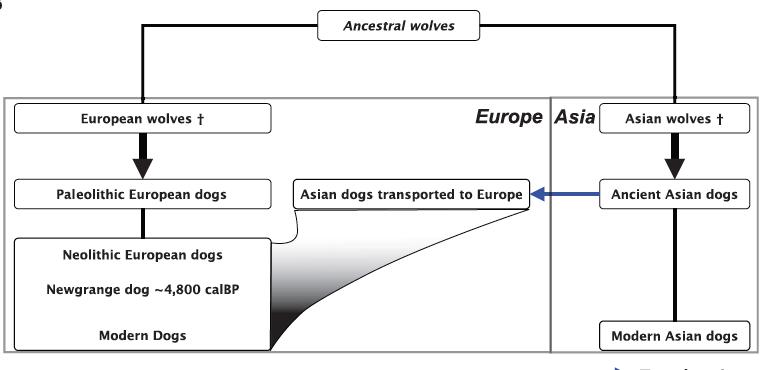 最新提出狗的馴化史劇本,東方與西方各自馴化後,東方狗傳往西方,大幅取代本來的西方族群。(Source)