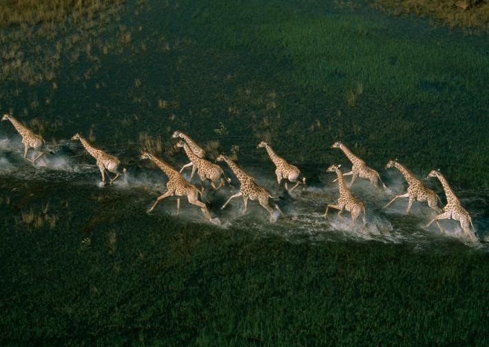 長頸鹿 (1)
