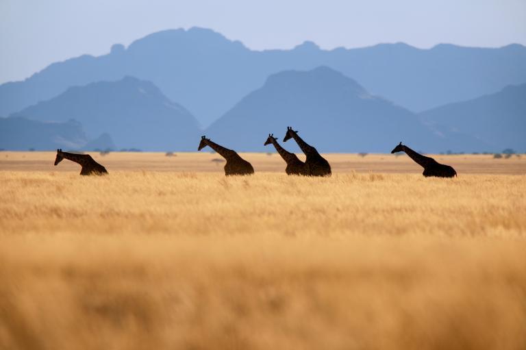 長頸鹿 (11)