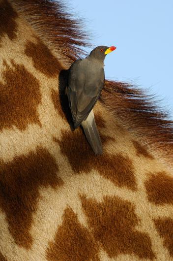 長頸鹿 (2)