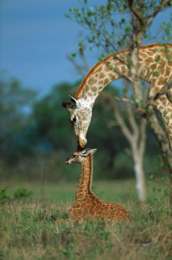 長頸鹿 (4)