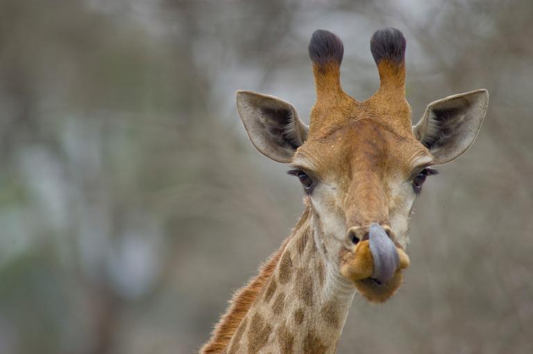 長頸鹿 (8)