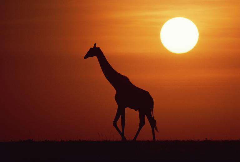 長頸鹿 (9)