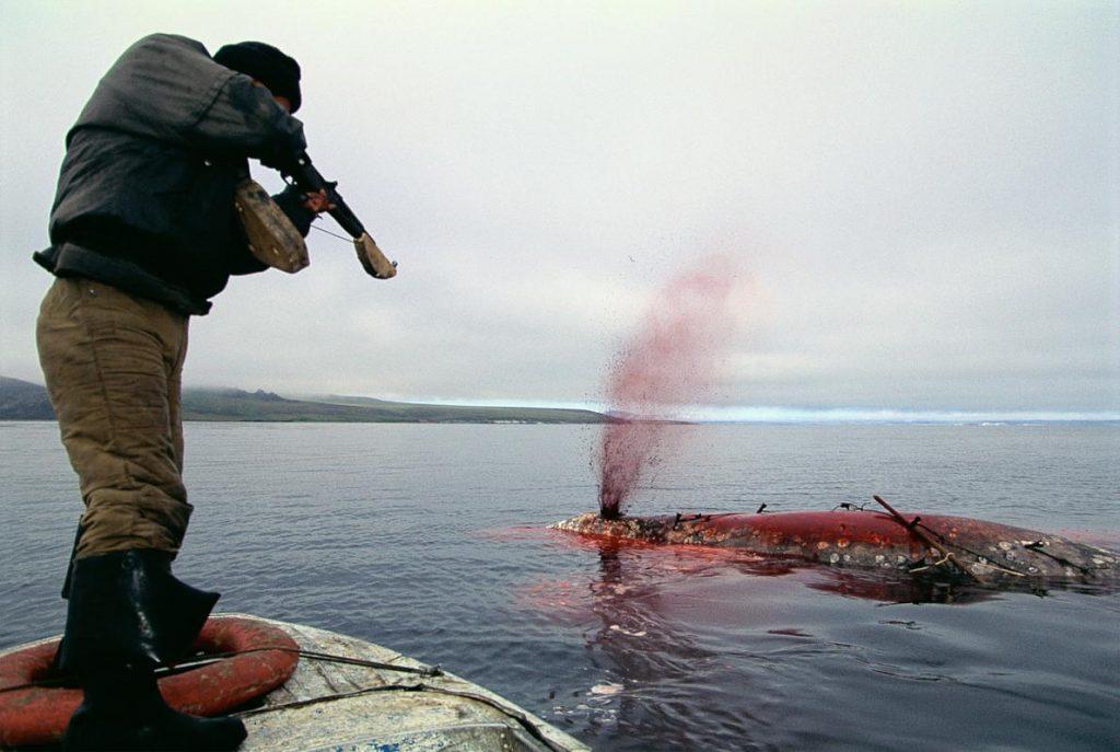 因紐特人獵捕一角鯨 格陵蘭的獵人正在取下一角鯨的鰭,胸鰭的肉被視作珍饈,由射中一角鯨的人獨享。中世紀之時,有「海中獨角獸」之稱的一角鯨格外珍奇,如今獵人在加拿大與格陵蘭島為了毛皮與肉品獵捕他們,角則當作紀念品之用。PHOTOGRAPH BY STAFFAN WIDSTRAND, CORBIS