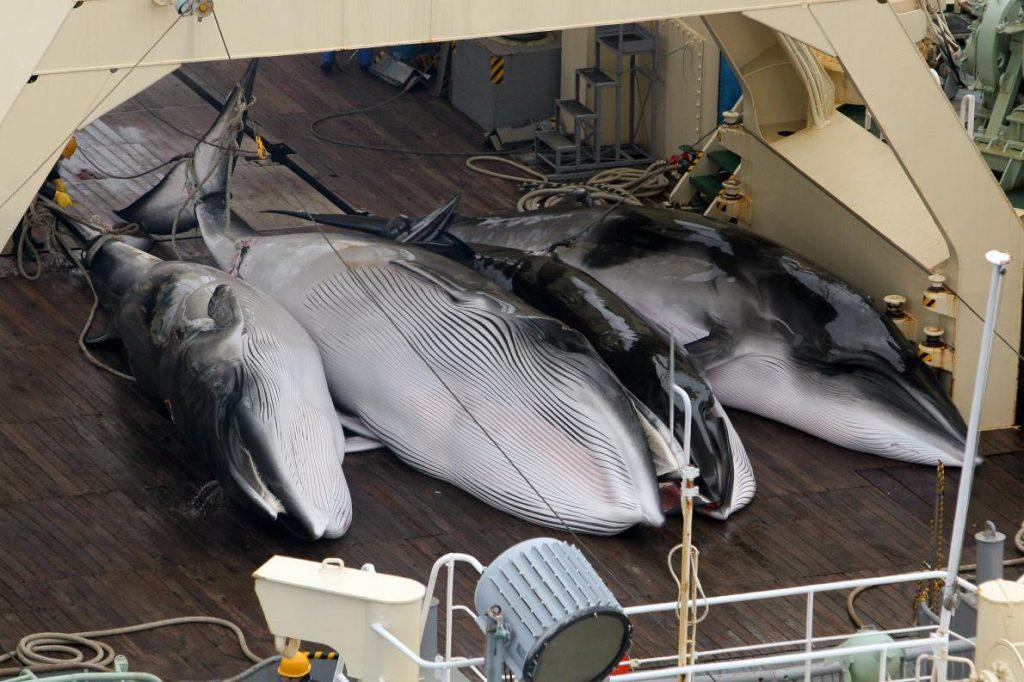 日本捕鯨業:日本無視國際捕鯨委員會於2014年制訂的規則,持續以科學捕鯨的名義獵捕南極小鬚鯨。在2015到2016的捕鯨季裡捕殺總計333頭南極小鬚鯨,其中更有200頭以上已懷孕。PHOTOGRAPH BY KATE DAVISON, EYEVINE, REDUX