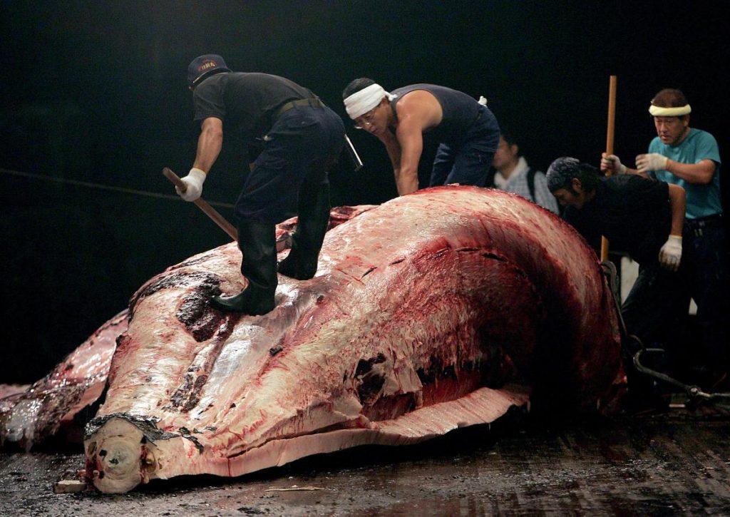日本的鯨魚屠宰作業:日本漁夫肢解抓到的鯨魚。日本目前的捕鯨計畫要求在南極海域捕捉4000頭鯨魚。儘管關於南極小鬚鯨的資料還不夠完善,不足以將其正式列入瀕危物種,不過絕大多數的專家認定南極小鬚鯨符合資格。PHOTOGRAPH BY KOICHI KAMOSHIDA, GETTY IMAGES