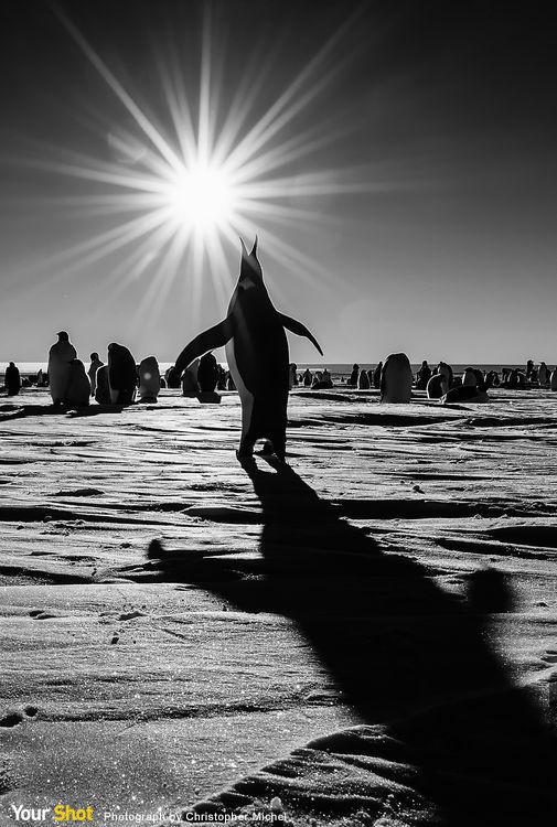 南極古爾德灣的國王企鵝