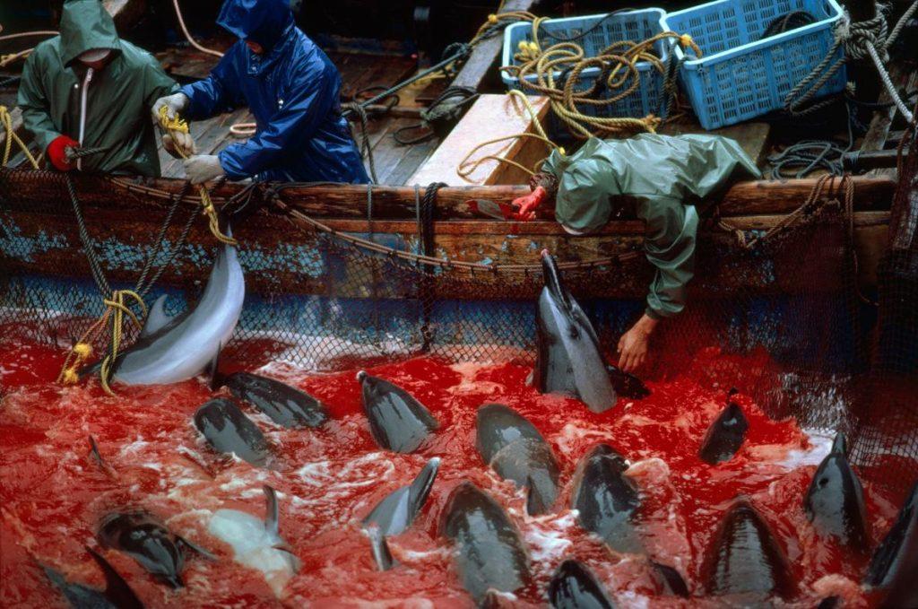 日本富戶(Futo)的漁民在1994年圍捕海豚。國際捕鯨委員會並未規範小型鯨魚、海豚與鼠海豚的獵捕。儘管富戶不再狩獵海豚,然而太地町(Taiji)卻在2009拍攝的奧斯卡得獎紀錄片《血色海灣The Cove》問世後遭到抨擊。