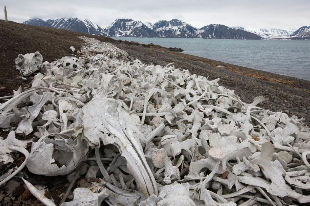 斯瓦巴群島海岸上的這些白骨,是挪威白鯨漁業在全盛時期所留下的痕跡。挪威與冰島是僅存兩個公然進行商業捕鯨的國家,國際捕鯨委員會早在1986年宣布暫停捕鯨,不過挪威與冰島持反對意見。