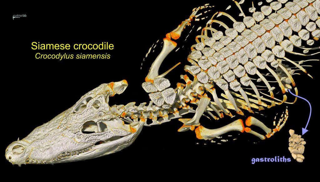 利用電腦斷層掃描技術,來自俄亥俄大學的研究團隊詳細檢驗了一頭死去的暹羅鱷(Crocodylus siamensis),圖片右側中間的即是胃石。Source: WitmerLab at Ohio University.