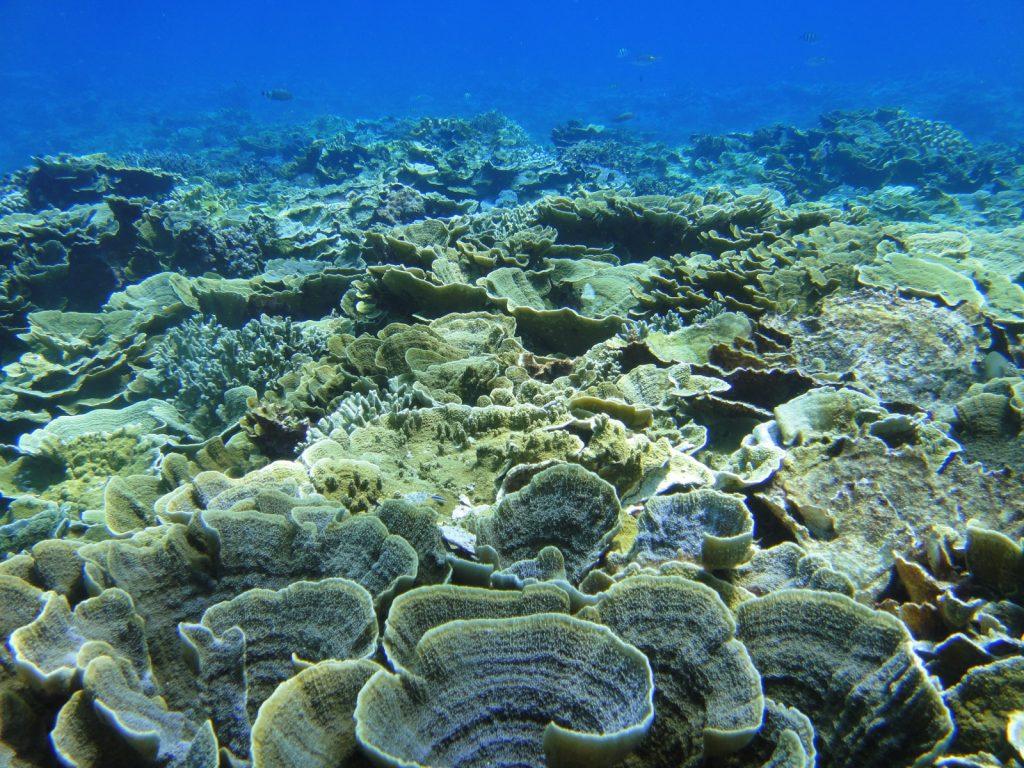 礁台上的珊瑚生長密集
