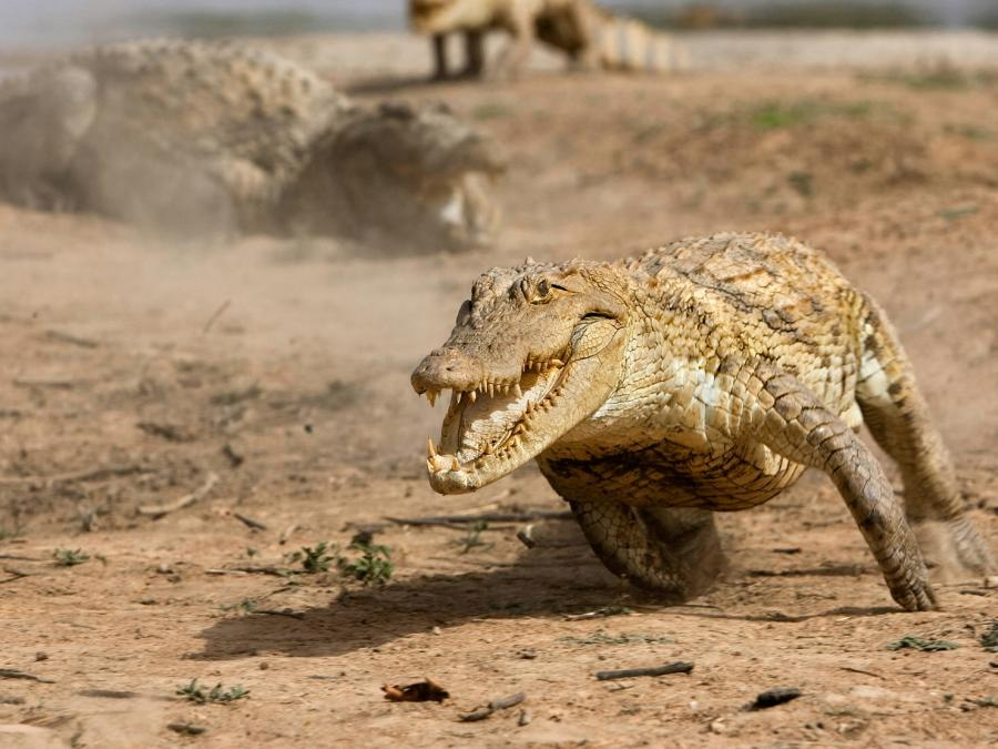 邁開腳步、追逐眼前正在奔走的雞的尼羅鱷。Source: Pixdaus_photo by Oliver Born