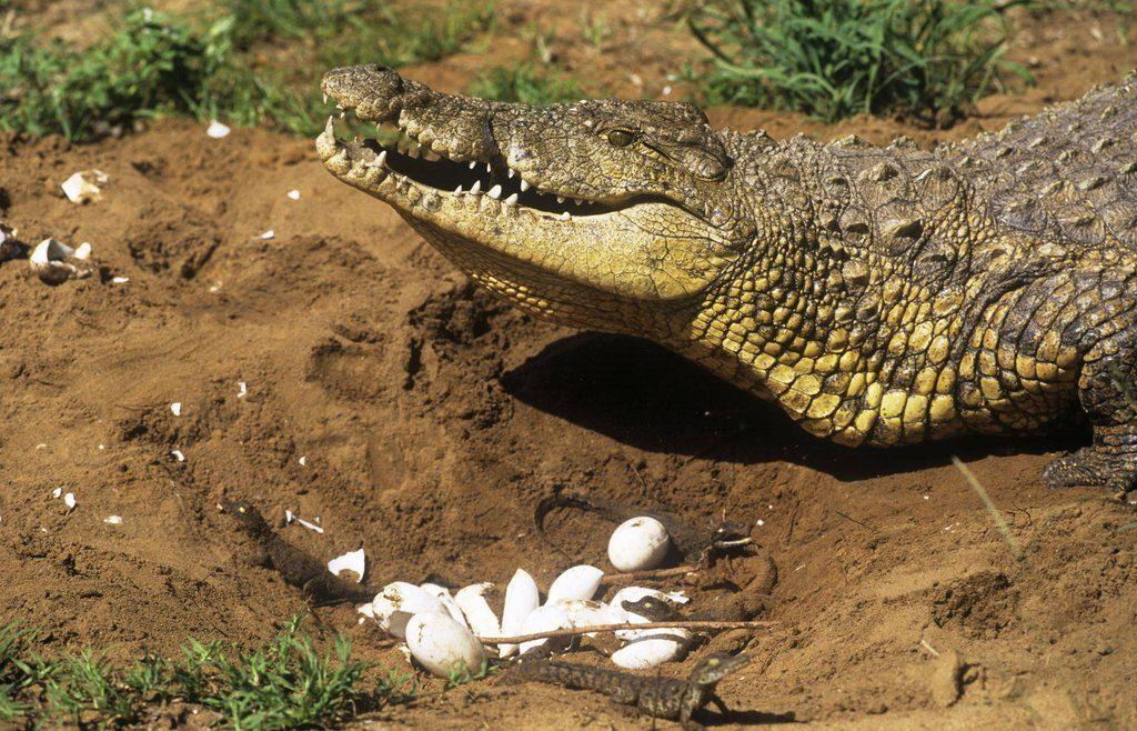 另一類的巢型則是土洞巢,較為開放。雌鱷會在河岸邊細心挑選產卵地點,也因此經常和其他雌鱷爭位置而大打出手。這是頭尼羅鱷雌鱷正在試著協助幼鱷破卵或是準備銜幼下水。Source: Arkive_photo from M. Watson