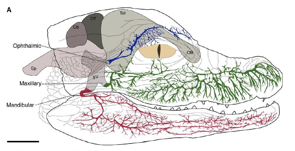 構成三叉神經的眼神經、上頷神經和下頷神經的末梢,均是ISO的所在處。圖為美洲短吻鱷幼鱷,牙齒周圍的鱗片有最密集的感測器官分布。Source: Leitch & Catania. J. Exp. Biol. 2012, 215: 4217-4230.