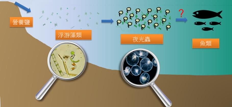 圖三、藻華輪替現象:沿岸生態系中營養鹽將會 誘使浮游藻類,特別是矽藻,快速成長形成藻華 ,豐富之餌料促使夜光蟲藻華形成,接著可能會 造成魚類增加。