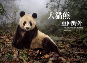 大熊貓重回野外