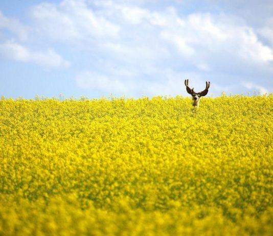 油菜籽田裡的鹿
