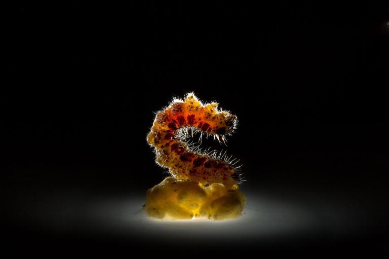 一隻紋白蝶(cabbage butterfly)幼蟲殭在菜蝶絨繭蜂(Cotesia glomerata, white butterfly wasp)的繭上。菜蝶絨繭蜂是紋白蝶最常見的寄生者,幼蟲會啃食紋白蝶幼蟲的體內組織,並因此殺死宿主。PHOTOGRAPH BY ANAND VARMA, NATIONAL GEOGRAPHIC CREATIVE
