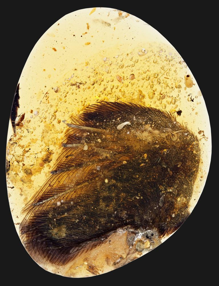 這塊將近一億年歷史的琥珀,保存了翅膀末端的骨骼、軟組織及羽毛等特徵;而該琥珀原本要用於名為「天使之翼」的墜飾,因此也被暱稱為「天使」。PHOTOGRAPH BY RYAN C. MCKELLAR