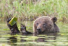 灰熊玩睡蓮葉