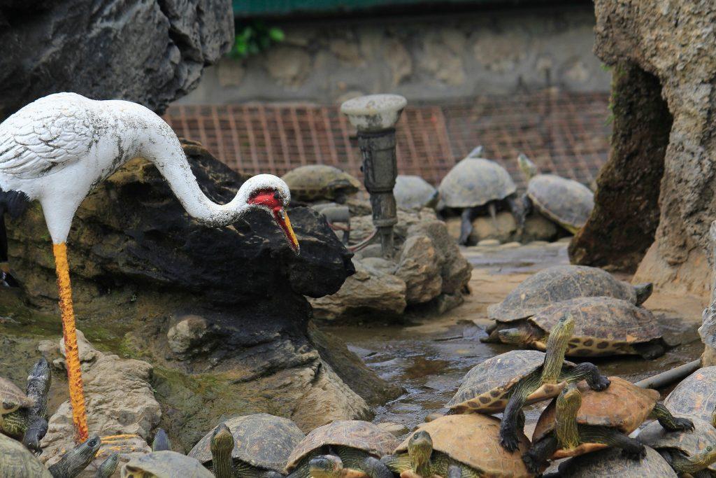 龜鶴雙棲:有些寺廟會有放生池,這是在高雄某間寺廟的放生池中的烏龜擁擠狀況。
