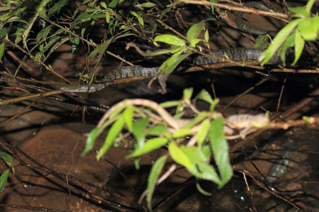 白腹游蛇(Sinonatrix percarinata suriki)與亞洲水龍(Physignathus cocincinus)相遇:在台灣本應為互不相見的物種,卻因人為因素而導致在野外見其共存。