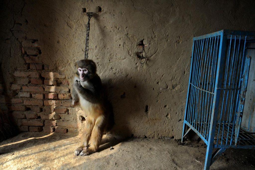 2012年中國蘇州。一隻獼猴被鐵鍊拴在牆上,以訓練他的腿力來為馬戲團表演。在最近的一份調查中發現,相同的訓練法也被用在熊身上。PHOTOGRAPH BY JIANAN YU, REUTERS