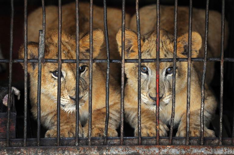2012年蘇州,一群四個月大的小獅子被關在籠子裡。在蘇州有超過三百個馬戲團,其中許多都有動物表演部分。PHOTOGRAPH BY JIANAN YU, REUTERS
