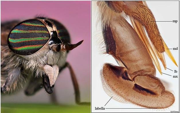 蚊子吸血口器 (2)