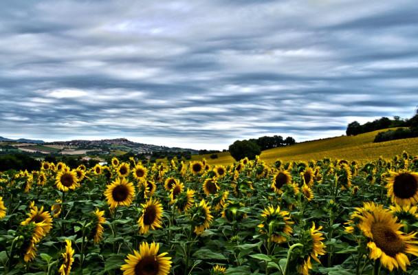 北美洲最有代表性的農作物向日葵,曾一度被誤認為香蕉。(圖片來源)