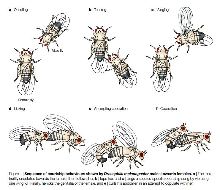 黃果蠅生殖行為的儀式。圖片來源
