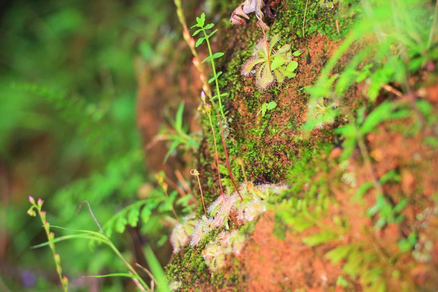 小毛氈苔的總狀花序有著細長花莖。