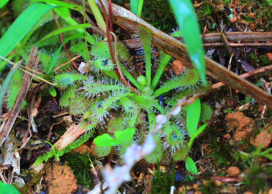 小毛氈苔葉片上有消化完的獵物殘屑。