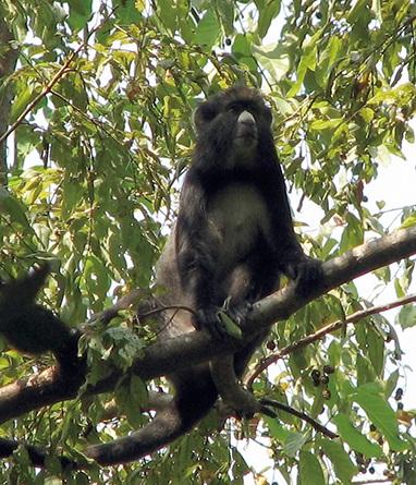 灰鼻猴,攝於奈及利亞的嗄夏卡.古姆提國家公園(Kate Arnold)