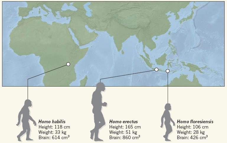 非洲的巧人、爪哇的直立人,佛洛勒斯人,三者的地理位置、身高、腦容量。(圖片來源)