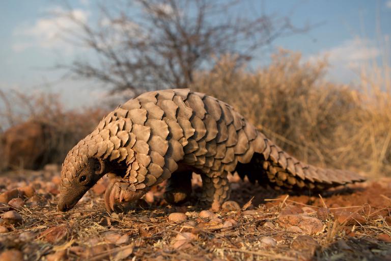 納米比亞的一隻地面穿山甲。該國也支持對這種弱勢動物採取更強力的保護措施。PHOTOGRAPH BY CEDRIC AND ELYANE JACQUET