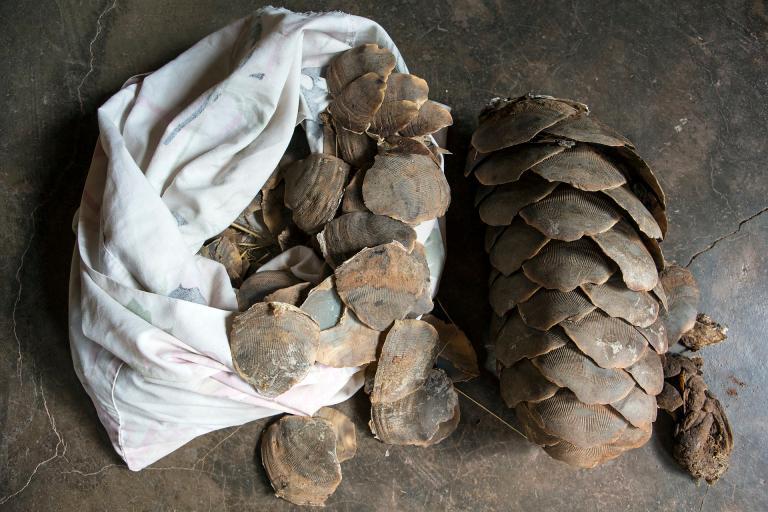 在越南和中國,穿山甲的鱗片被當作是一種傳統藥材。PHOTOGRAPH BY CEDRIC AND ELYANE JACQUET