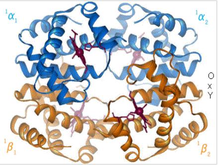 血紅素結構由4個次單元,2個α球蛋白,加上2個β球蛋白所組成。(圖片來源)